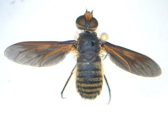 Bee fly - Poecilanthrax lucifer
