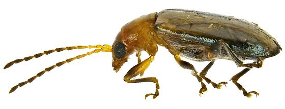 Pseudoluperus cyanellus? - Pseudoluperus