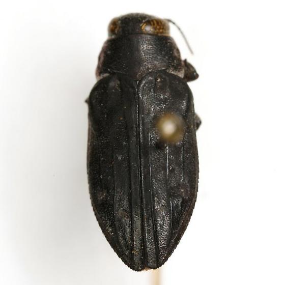 Chrysobothris edwardsii Horn - Chrysobothris edwardsii