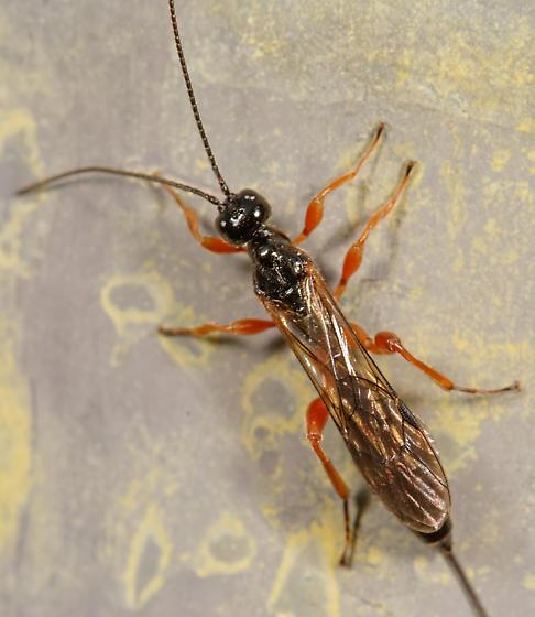 ichneumon - Odontocolon - female