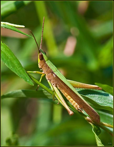 Clipped-wing Grasshopper - Metaleptea brevicornis - male