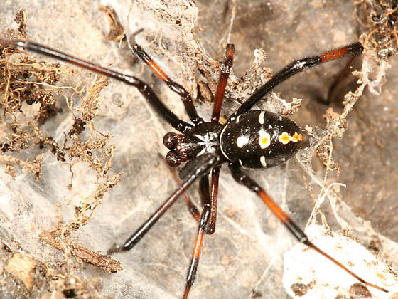 Northern Black Widow - Latrodectus variolus - male