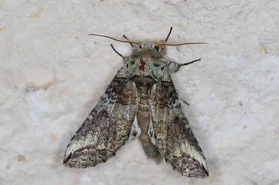 Heterocampa - Heterocampa astartoides - male