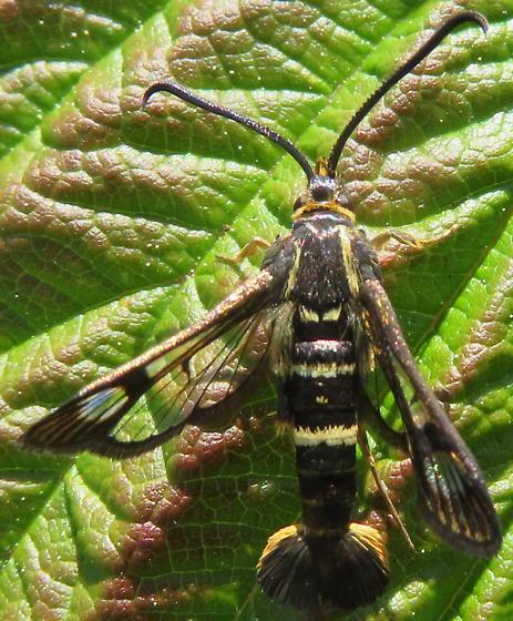 Synanthedon bibionipennis? - Synanthedon bibionipennis - male