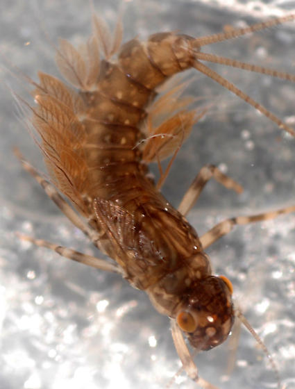 half-grown female mayfly nymph - Leptophlebia - female