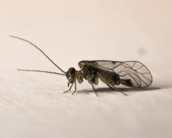 Indiopsocus campestris - male