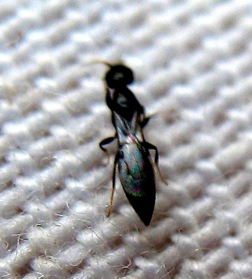 Chalcidoid Wasp? - Goniozus