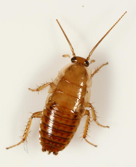 wood cockroach nymph ectobius bugguide net. Black Bedroom Furniture Sets. Home Design Ideas