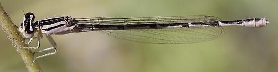 Coenagrionidae - Enallagma carunculatum