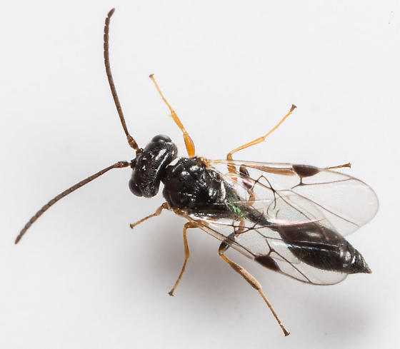 Wasp - Helorus - female