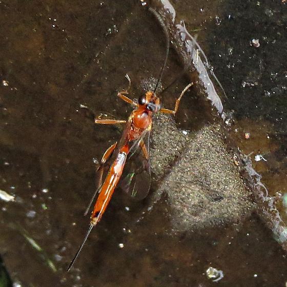 Icheneumonidae (female)