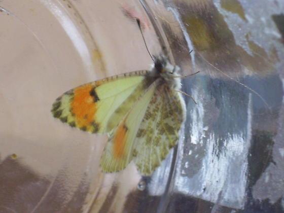 Orangetip - Anthocharis julia