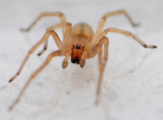 Longlegged Sac Spider - Cheiracanthium - male