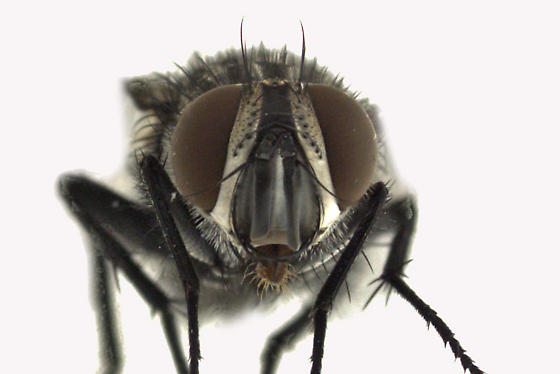 Tachinidae - Compsilura concinnata - male