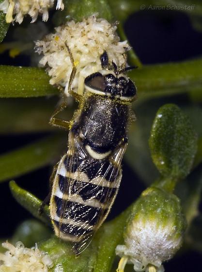 More hirtocculata - Odontomyia hirtocculata - female