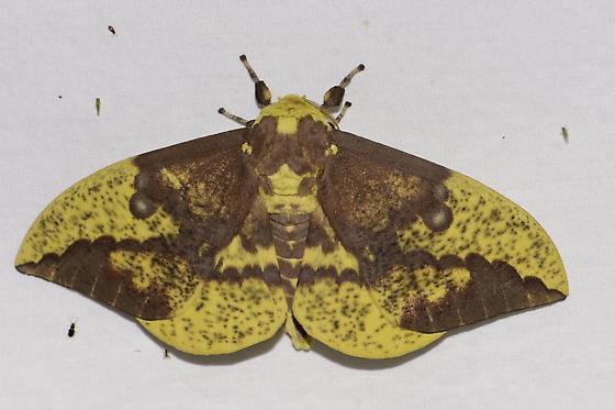 Eacles imperialis - Imperial Moth  - Eacles imperialis