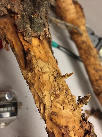 Boring Beetle Damage