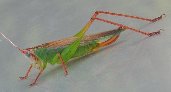 Handsome Meadow Katydid - Orchelimum pulchellum - female