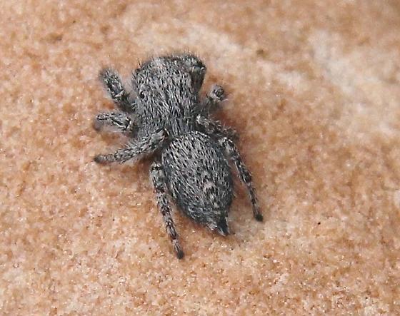 jumping spider, gray, fuzzy - Habronattus
