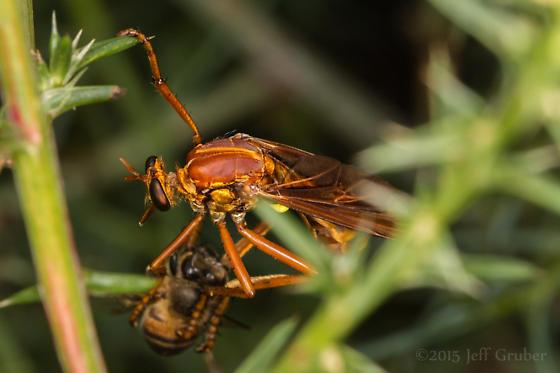 Asilid - Blepharepium sonorensis - female
