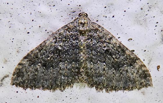 Moth - Triphosa californiata