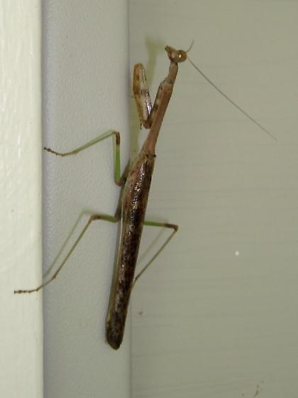 Preying Mantis species - Stagmomantis carolina - male