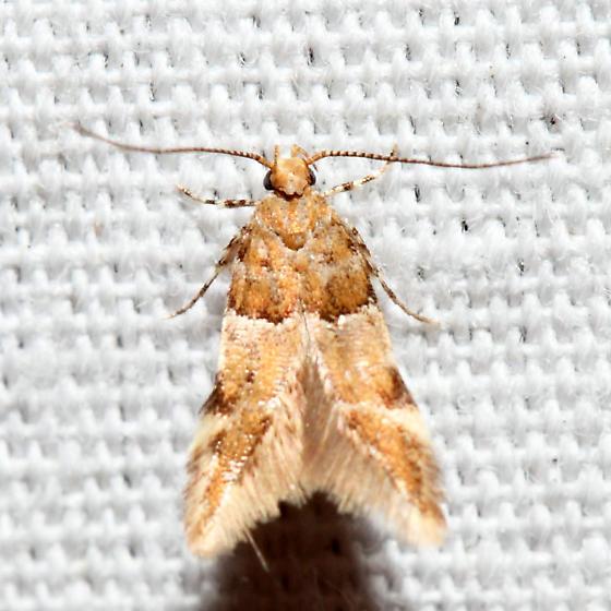 micro moth - Theisoa constrictella
