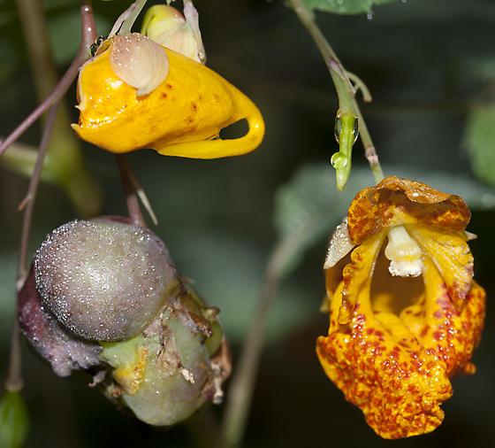 Jewelweed Gall - Schizomyia impatientis