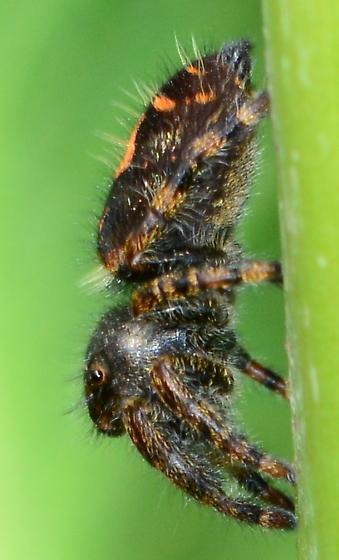 Jumping Spider - Phidippus? - Phidippus audax