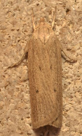 Moth ID - Gonioterma mistrella