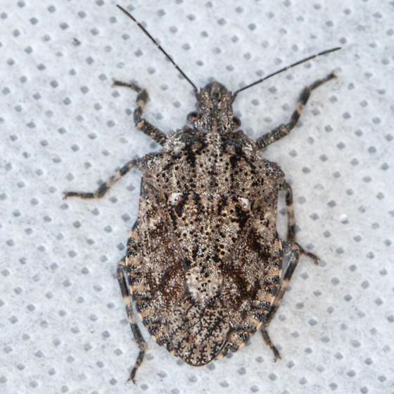 Unknown Beetle - Brochymena cariosa
