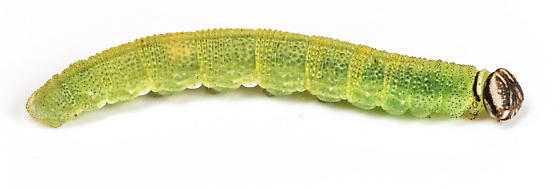 Caterpillar - Ancyloxypha numitor