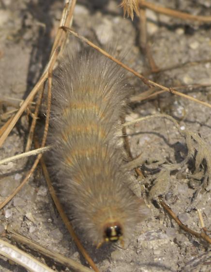 Salt Marsh caterpillar - Estigmene acrea