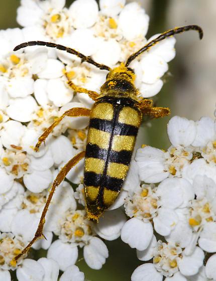 flower longhorn - Stenostrophia tribalteata