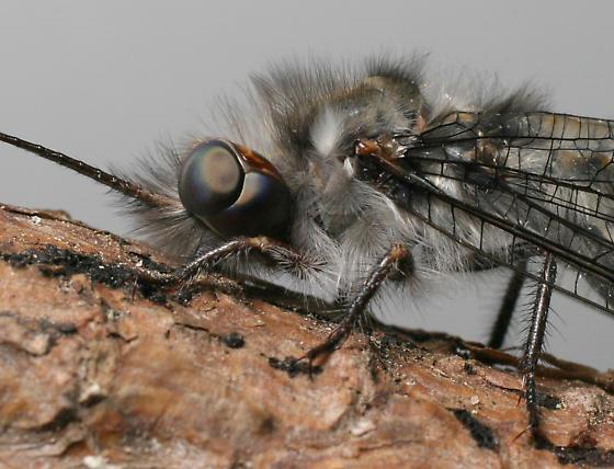 Four-spotted Owlfly - Ululodes quadripunctatus - female