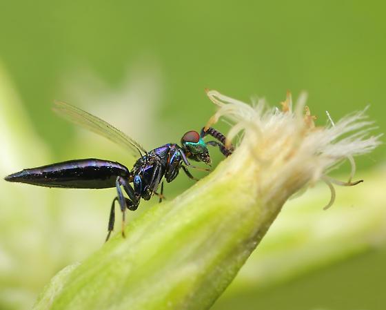 Wasp ID - male