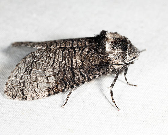 Little Carpenterworm Moth  - Prionoxystus macmurtrei