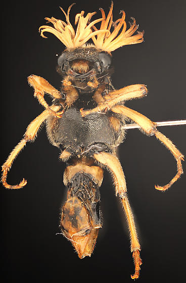 ''Wasp'' with bipectinate antennae and two flight wings, ventral - Ripiphorus rex - male