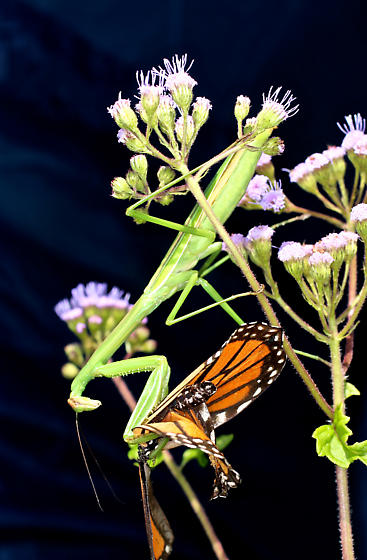 Mantid eating monarch - Tenodera - female