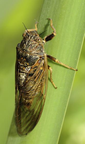 Prairie Cicada - Okanagana balli