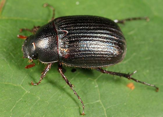 scarab - Serica tristis - male