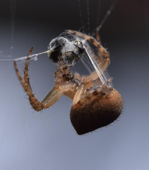 Spider in garden - Araneus