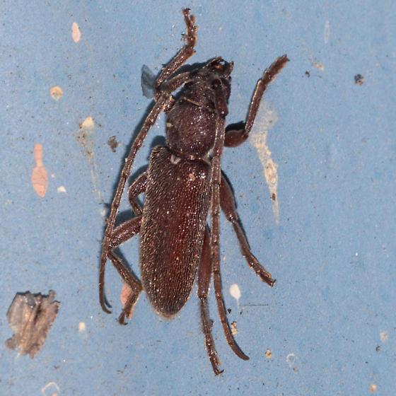 Anelaphus pumilus? - Anelaphus moestus