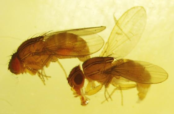 Striped Fruit Fly - Zaprionus indianus
