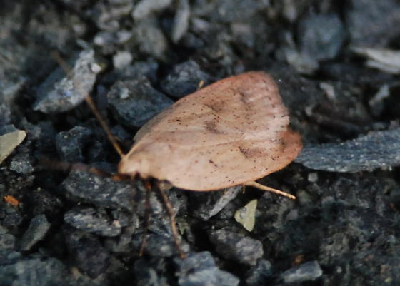 elusive ground moth - Machimia tentoriferella