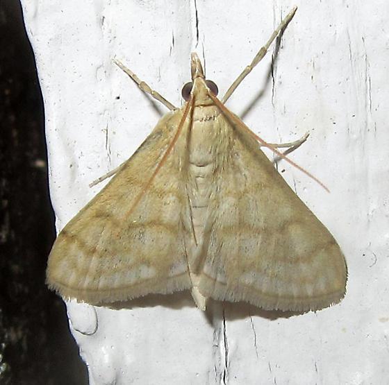 Moth - Paracorsia repandalis