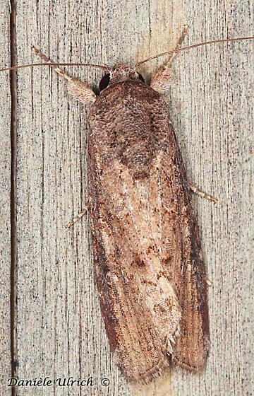 Moth - Spodoptera frugiperda