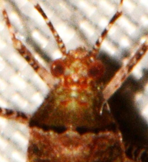 Miridae - Phytocoris