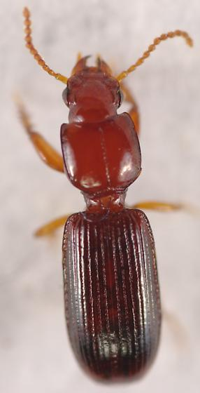 Ground beetle - Clivina pallida