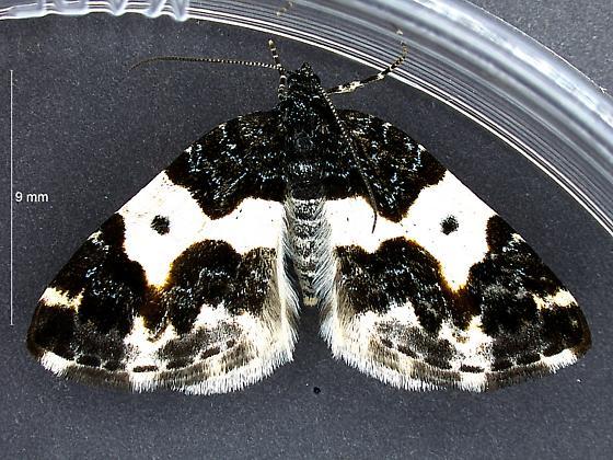 Grass Lake Carpet - Mesoleuca gratulata - female